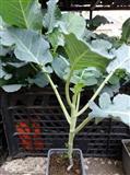 Brokoli sadnice