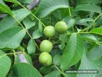 Sadnice oraha i limuna