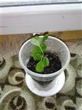 Sadnica narandze stara osam meseci