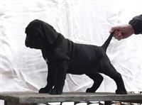 Napuljski Mastif stenci