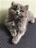 Zapanjujući britanski mačić s dugom kosom