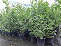 AKCIJA Sadnice borovnice dvogodisnje, sertifikovan
