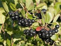 Plod, proizvodi  i sadnice ARONIJE
