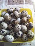 Najeftinija jaja japanske prepelice.
