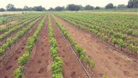 Prodaja vocnih sadnica - Niske cene visok kvalitet