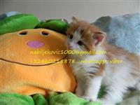 Kittens të mrekullueshëm persiane
