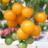 Zuti balkonski ceri-domace organsko seme
