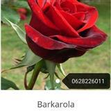 Sadnica ruza stablasica  mini ruza