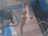 Poklanjam polu-persijsko mace