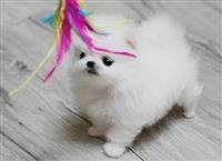 lijepih Pomeranian Puppies za prodaju