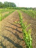 Vinograd 1400m2 u Perlezu