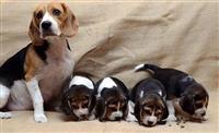 Beagle stenci sa pedigreom NA PRODAJU!