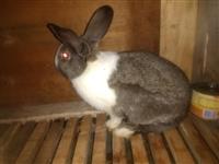 Prodajem zeceve svih vrsta