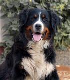 Stenci Bernskog Planinskog psa