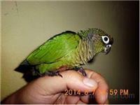 Braonouhi papagaj