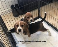 Prekrasan pedigree Beagle Pups Pra Clear
