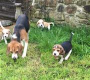 Prekrasni Beagle Pups * spreman sada *