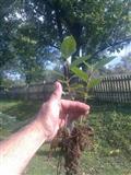 ARONIJA sadnice proizvedene iz semena