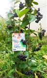 Aronija sadnice AKCIJA septembarska sadnja sa