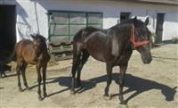 Kobila zdrebe i prikolica