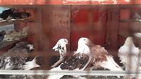 Kovrdzavi golubovi