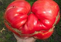 Paradajz Omar`s Lebanese-plodovi do 1,5 kg!