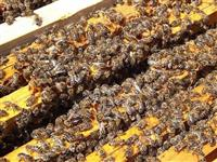 Rojevi pčela extra kvaliteta