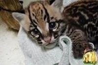 Ocelots, caracals, servals na raspolaganju