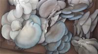 Micelijum bukovace i sitake