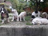 Srednjeazijski ovčar, štenad