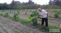 paulovnija semena i sadnice
