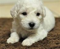 Simpatični, hipoalergični štene AKC Bichon. Bikoni