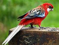 Razni papagaji