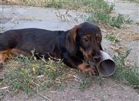 Jazavičar muško štene