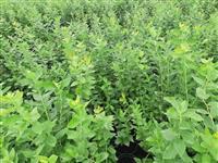 Sadnice borovnice sorti Duke i Bluecrop