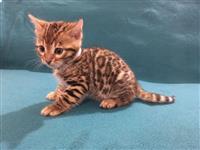 Silver Bengal Kittens Za prodaju