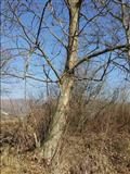 Orahova stabla