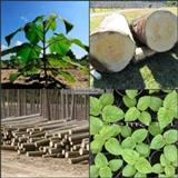 Paulownia semena i sadnice-garancija