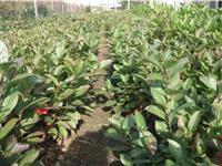 ARONIJA - njiva sa zasadom i sadnice aronije