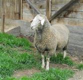 Stado ovaca, rase Virtemberg. U ponudi