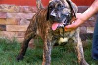 Presa canario i pit bull terrier stenci