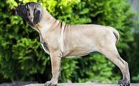 Bullmastif i napuljski mastif stenci na prodaju