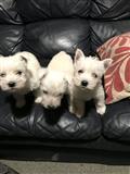 Lijepa West Highland štene potpuno cijepljena