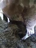 Prodajem kravu 700e HITNO.
