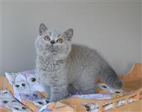 Plavi Britanski kratkodlaki mačići