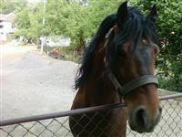 Konj starog 13 godina