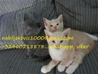 Kittens ruse blu