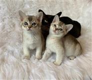 Kvalitetan azijski mačić