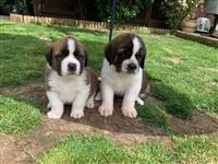 Lijepi štenci Saint Bernard spremni za prodaju