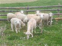 Umaticene ovce virtemberg